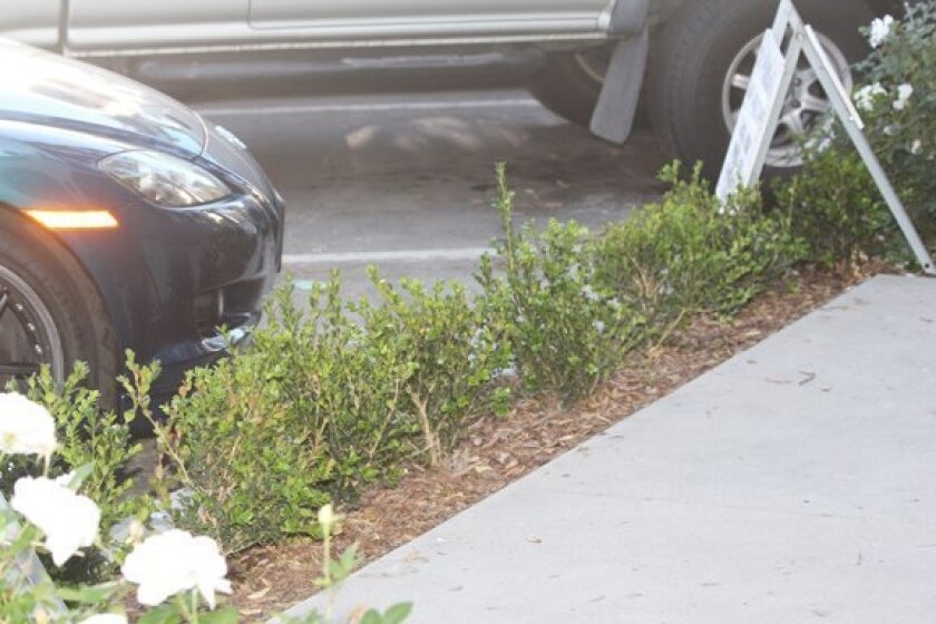 These shrubs planted by the operator of the new La Plaza La Jolla shopping complex along Wall Street and Girard Avenue will grow to about three feet. A resident is concerned they will block access to the sidewalk, forcing people who park in front of the shopping center to walk into the street to mo