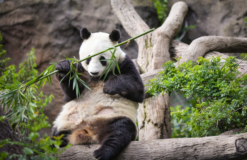 Bai Yun, one of the two giant pandas at the San Diego Zoo, enjoys breakfast. She and  Xiao Liwu, the other giant panda at the zoo, will be heading back to China soon.
