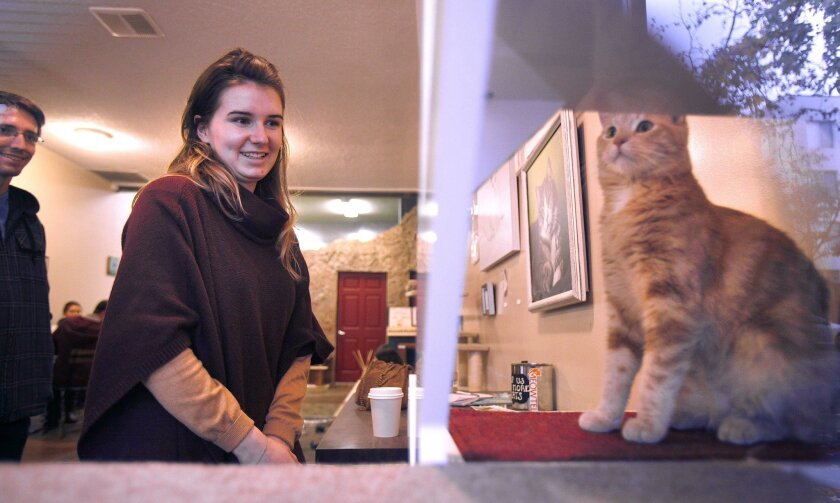 Margaux Hingey and her husband Jason Hingey watch 11-month-old orange tabby Blossom at the Cat Cafe last week. By the end of the week, Blossom was adopted and total adoptions for the year were at 110.