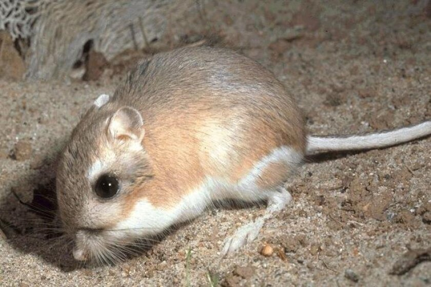 Stephens' kangaroo rats still need protection under the Endangered Species Act, according to the U.S. Fish and Wildlife Service.