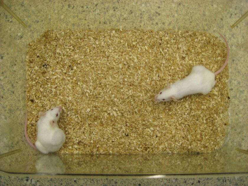 """These  are""""humanized"""" laboratory mice that contain a functional human immune system. Such mice have been used for years; a UCSD research team developed a model with a stronger immune response to test their immune-suppressing tissues."""