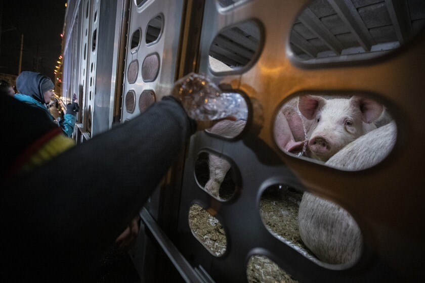 VERNON, CA, WEDNESDAY, FEBRUARY 20, 2019 - Curious pigs look out on dozens of people as they approa