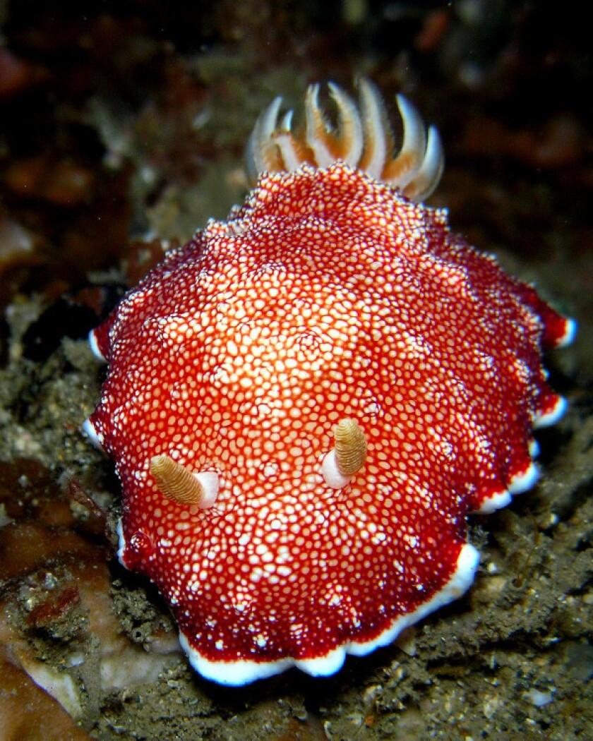 The red-and-white sea slug Chromodoris reticulata sheds its own penis after mating, a new study shows.