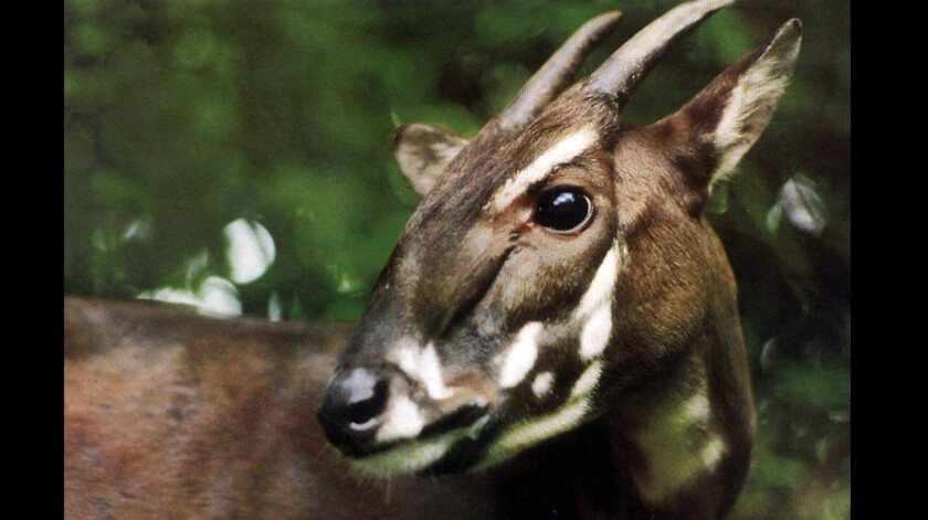 This photo taken in 1993 and released by the World Wildlife Fund shows an extremely rare Saola in Vietnam. No one knows whether the clock of extinction for the saola stands at two minutes before midnight or two minutes after.