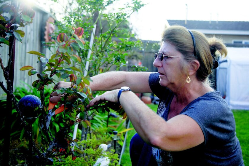 Mary Gambino, Uriah Courtney's mother, prunes a rose bush in her garden at her home. Mary took up gardening when Uriah was convicted and sent to prison as a stress reliever. Now that he's been exonerated she continues the hobby.  David Brooks / U-T San Diego
