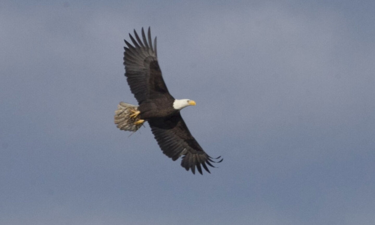 A bald eagle flew overhead with nesting materials it gathered from the dried grasses along the shore of Lake Cuyamaca.