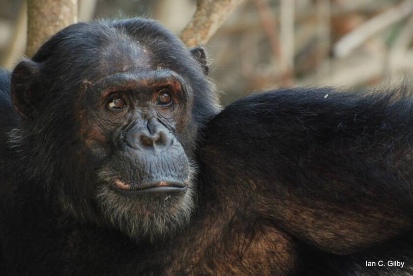 Titan, a chimpanzee adult male from the Kasekela community, in Tanzania's Gombe National Park. A new study argues that chimps kill other chimps as a survival strategy. Titan is the son of a famously aggressive chimpanzee known as Frodo.