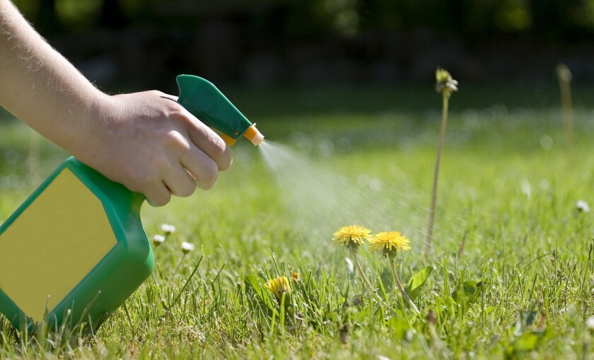 Spraying away dandelions.