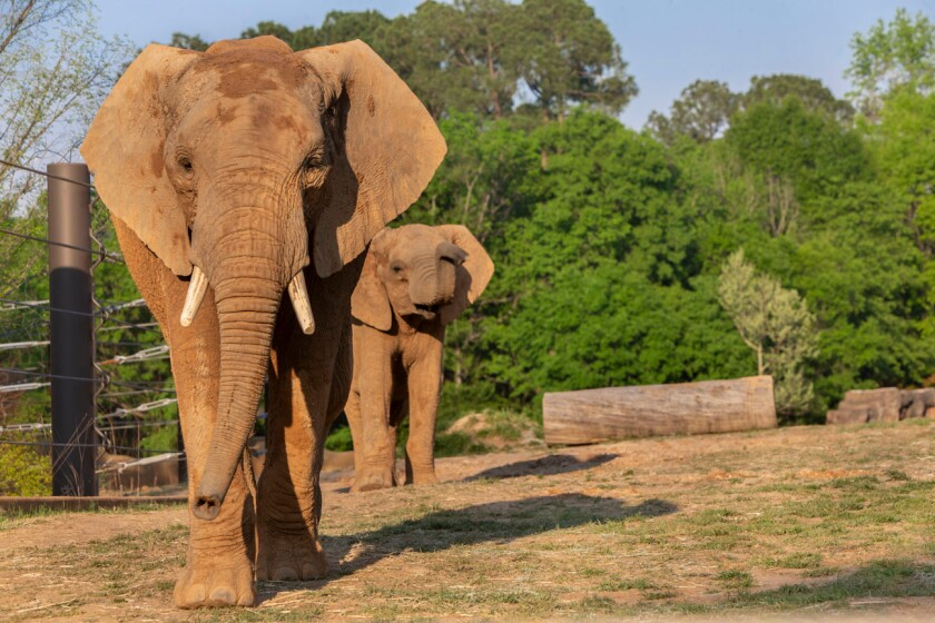 Mac, front, and Emanti. The African elephant half-brothers were recently transferred from San Diego Zoo Safari Park to Caldwell Zoo in Tyler, Texas.