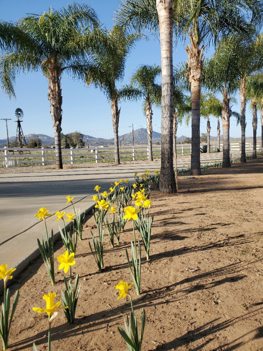 Ramona resident Jim Stearns planted 500 bulbs in memory of his late wife's favorite flower, daffodils, along his driveway.