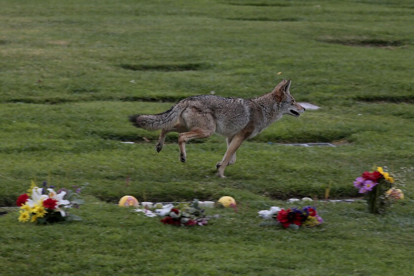 A bold coyote trots past food-laden graves at Rose Hills Cemetery in Whittier.