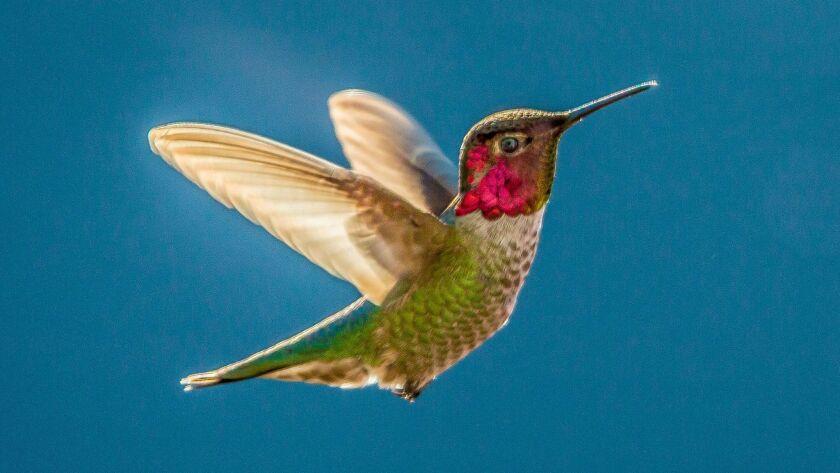 A colorful male Anna's hummingbird.