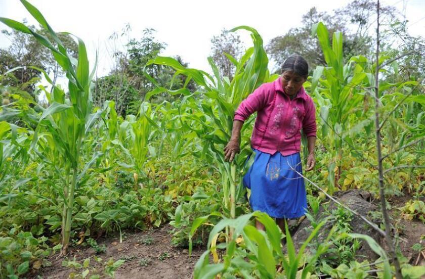 Fotografía de archivo del 1 de febrero de 2012, que muestra a una mujer rural recolectando hortalizas en el estado de Chiapas (México). EFE/Archivo