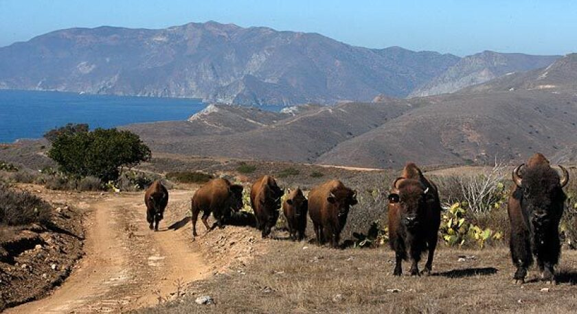 Wild bison make their way up a road on Catalina Island.