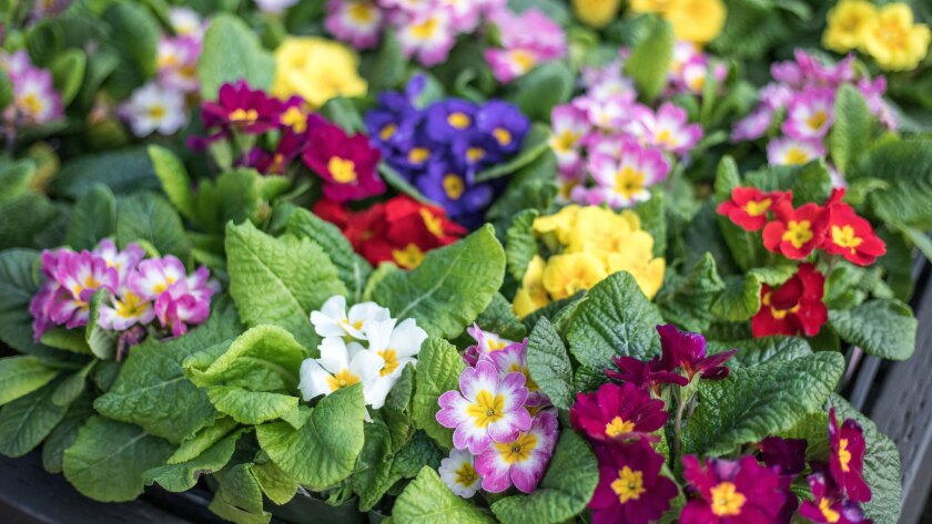 Pretty primroses, in an array of spring colors.