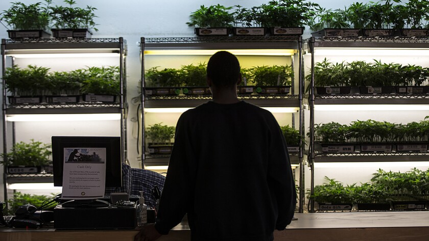 Cannabis plants are for sale at Oakland dispensary Harborside Health, which handles cash by the truckload. To pay local and state taxes, workers carry bags of bills to government offices, changing routes each time.