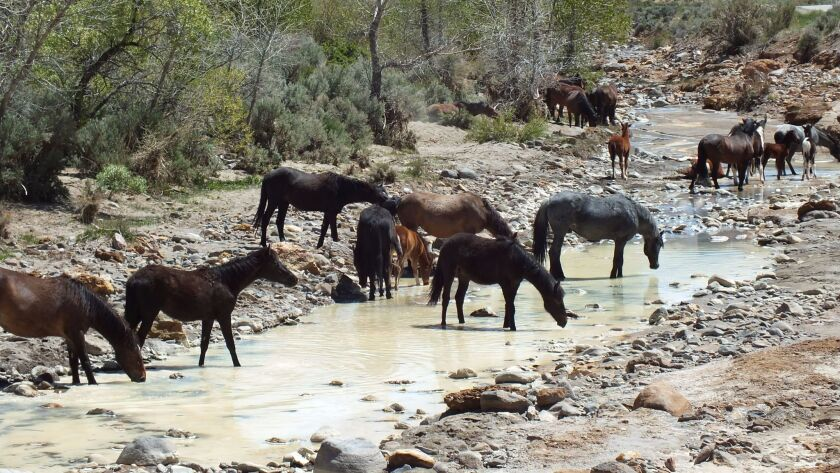 More than a dozen wild horses flock to a small creek near Lockwood, Nevada, easily accessed from Ren