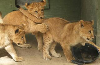 Lion cubs born at Wildlife Waystation in Lake View Terrace