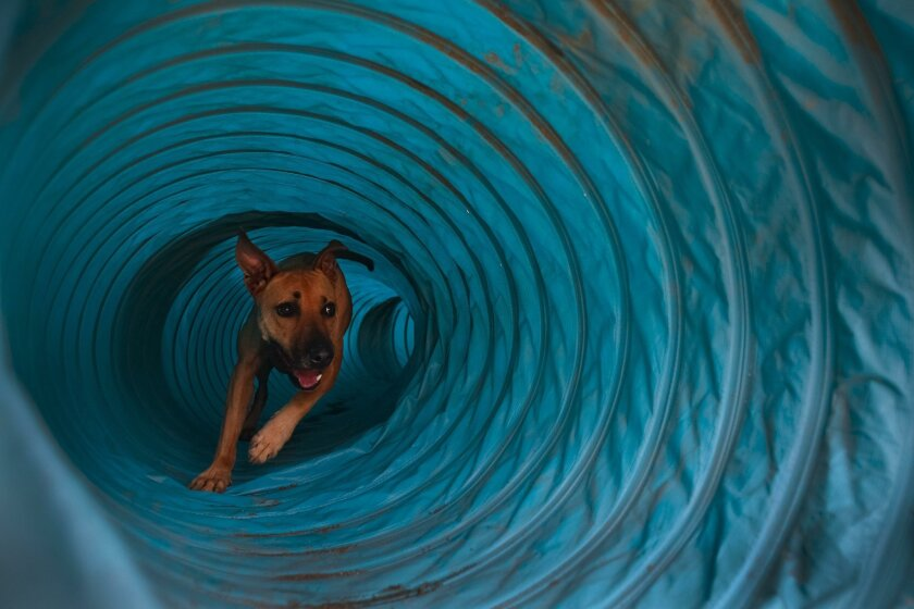 Phineas, a rescued pit bull mix, practices a tube run while training last month for the Westminster Kennel Club's Masters Agility Championship. The Oceanside dog owned by Liz Randall made the finals but did not win the competition on Feb. 13.