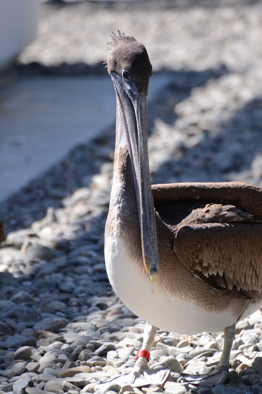 """""""Red,"""" a brown pelican. All pelicans must learn the kamikaze technique of diving for fish from great heights in order to survive. But in recent years, even the ones that master the skill have suffered along the California coast. Theories as to why abound: severe weather driven by climate change, a crippling sardine crash, the unknown effects of these and other variables colliding."""