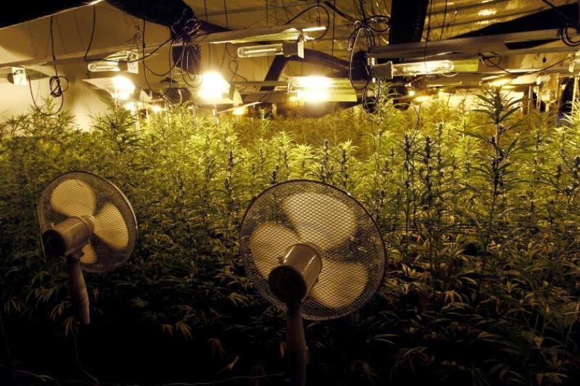 Cargos contra individuos que operaban invernadero ilegal marihuana en P.Rico