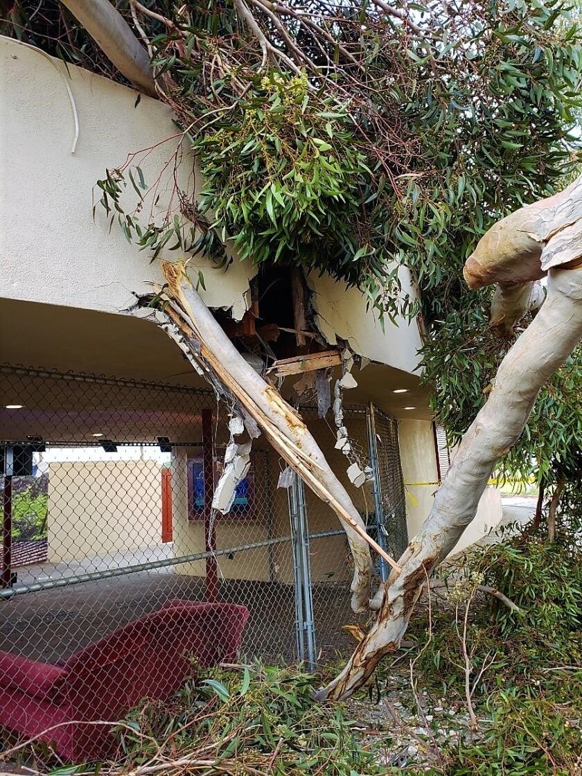 eucalyptus tree damage closeup Starlight.jpg