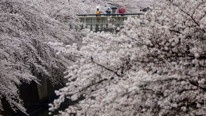Visitors enjoy the blooming cherry blossoms at the Meguro river in Tokyo.
