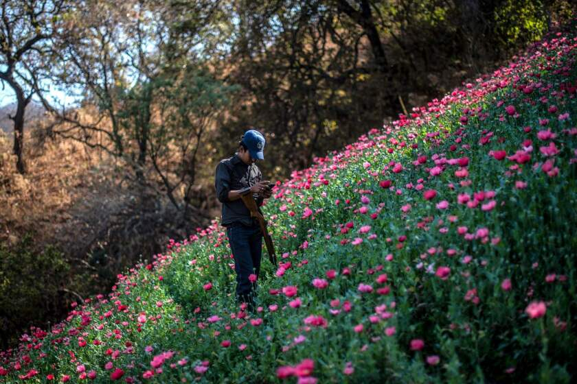 A Guerrero Community Police member looks at his mobile phone as he stands guard at an illegal poppy field, in Heliodoro Castillo, Guerrero state, Mexico.