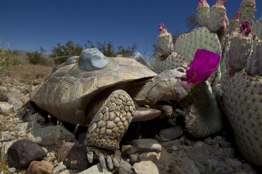 One of the tortoises released Wednesday into the desert just south of Las Vegas by the Desert Tortoise Conservation Center. / Photo by Ken Bohn, San Diego Zoo