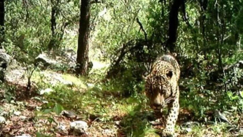 Imagen del único jaguar del que se tiene registro viviendo en su hábitat natural en Estados Unidos. La imagen fue tomada en el otoño pasado en las Montañas de Santa Rita, unas 30 millas a las afueras de Tucson.