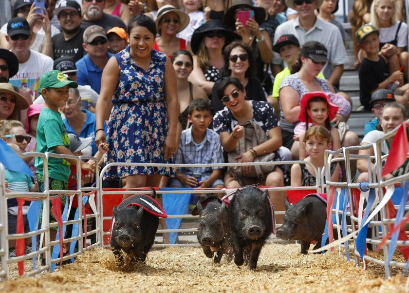 Fairgoers cheer as Bernie Sanders takes the lead to beat the other racing pigs, Hillary Rod-Ham Clinton, Donald Trumproast and Barack-O-Ribs Obama, at the fair.