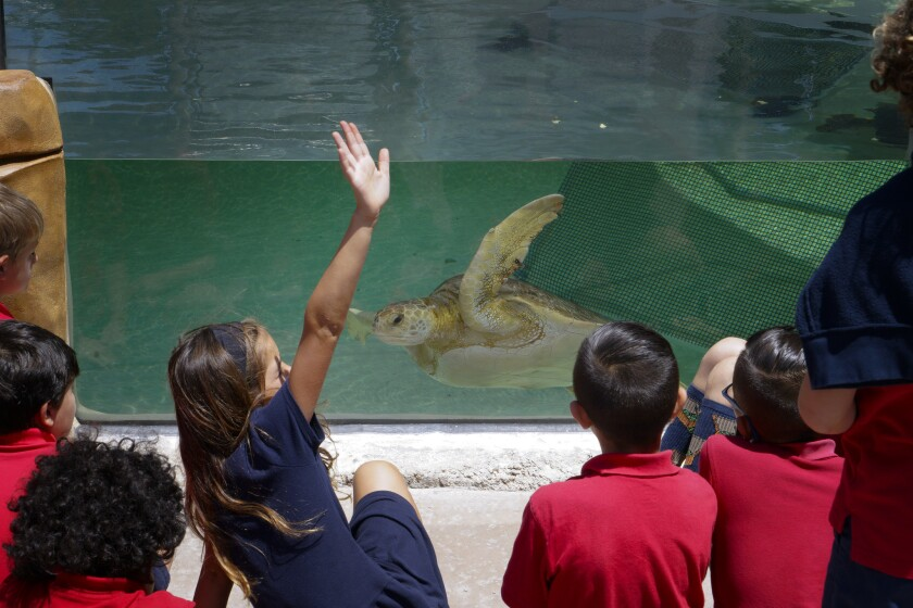 School kids are given an introduction about the Eastern Pacific Green Sea Turtle the Living Coast Discovery Center.