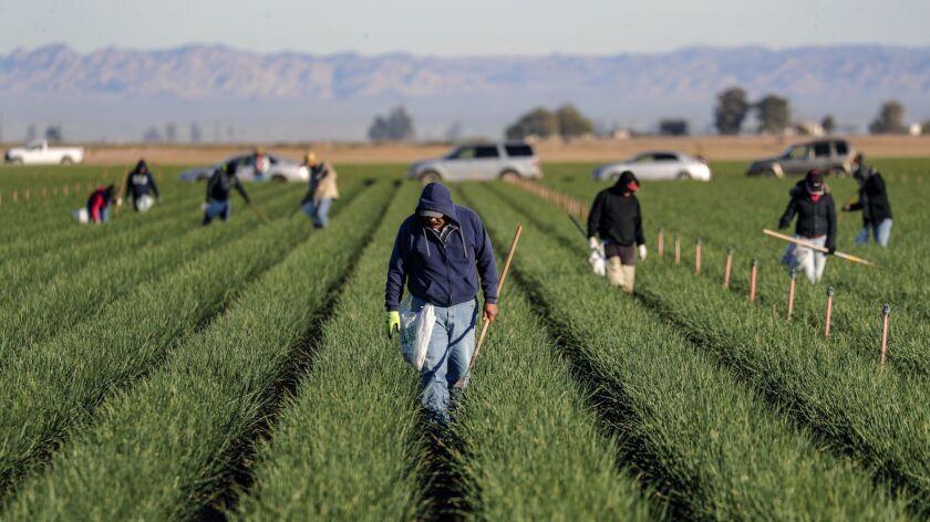 Farm workers spruce an onion field in Holtville, Calif. on Jan. 23.