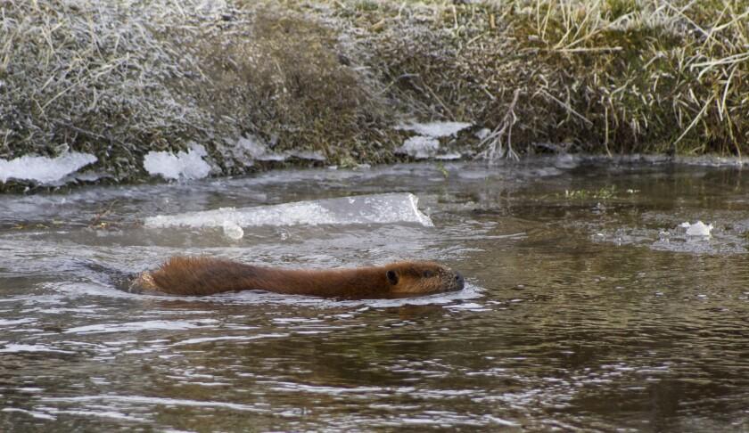 Beaver problem in Tierra del Fuego