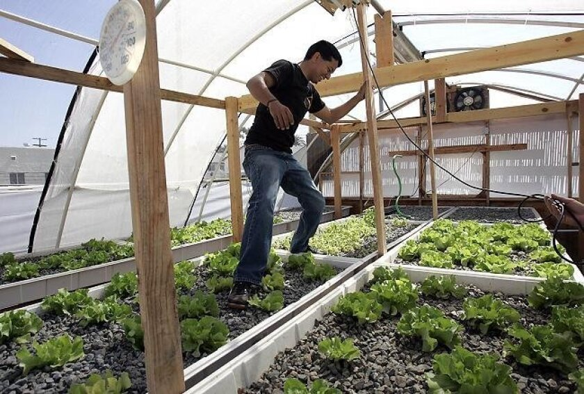 Jaime Garza, food and farming resource coordinator, steps around butter lettuce growing on theNew Roots Aqua Farm in City Heights. He had just installed a light on top of the growing area.