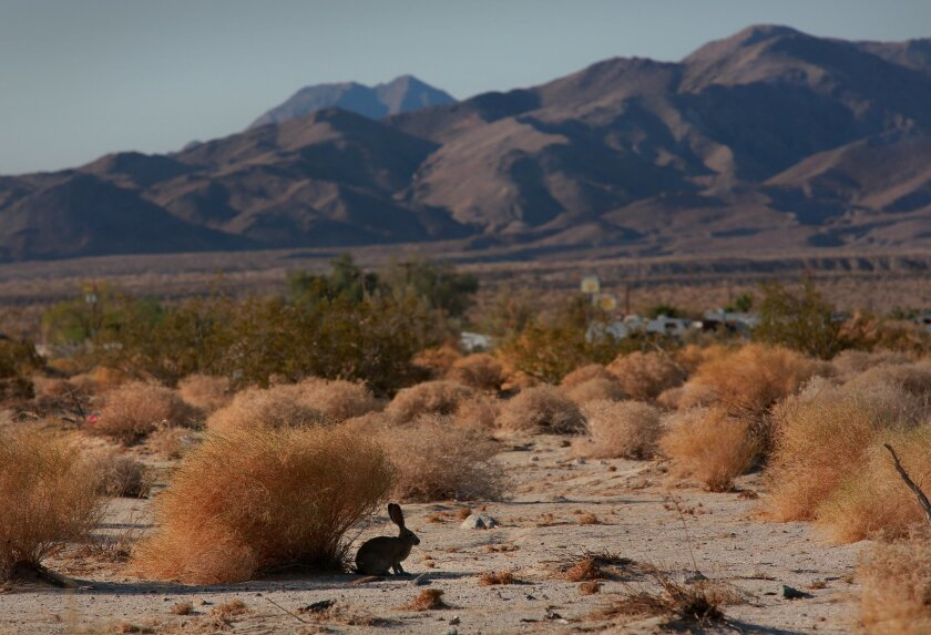 A jack rabbit seeks out shade in the desert town of Ocotillo, where construction of a large-scale wind farm is underway.