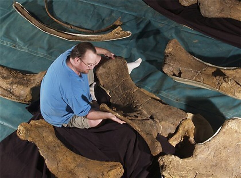 In this undated photo supplied by Queensland Museum, paleontologist Scott Hocknull analyses the Diamantinasaurus fossils in Winton, in central Queensland, Australia. Scientists have confirmed for the first time that Australia was once home to a dinosaur that was big, fast and terrifying, and has a name like something from an Arnold Schwazennegger movie. Meet the Australovenator. (AP Photo/Queensland Museum, HO)