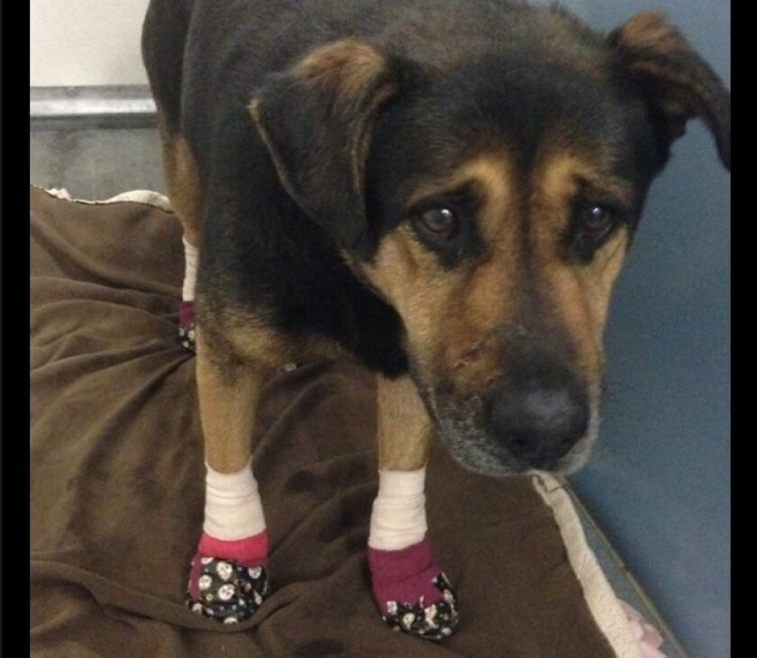 This dog was one of the several animals rescued by the San Diego County Department of Animal Services from the Border fire in the east County.