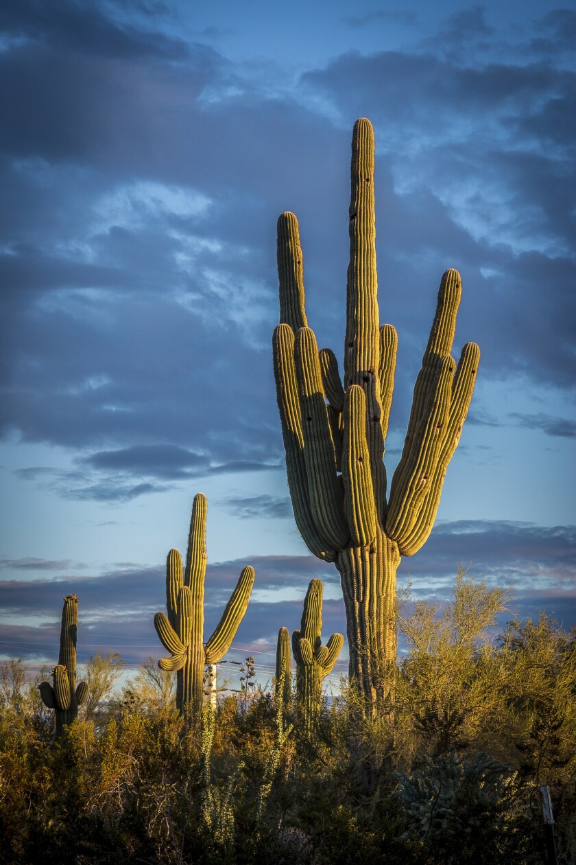 Bruce Berger waxes poetic about cactus, like these slow-growing saguaro at the Desert Botanical Garden in Phoenix.