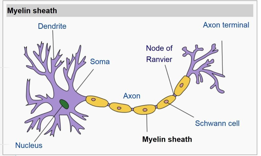 Structure of a typical neuron, showing the protective myelin sheath that is attacked in multiple sclerosis