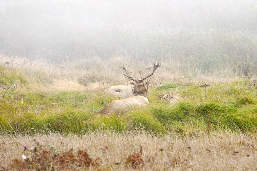 Tule elk graze in the mist