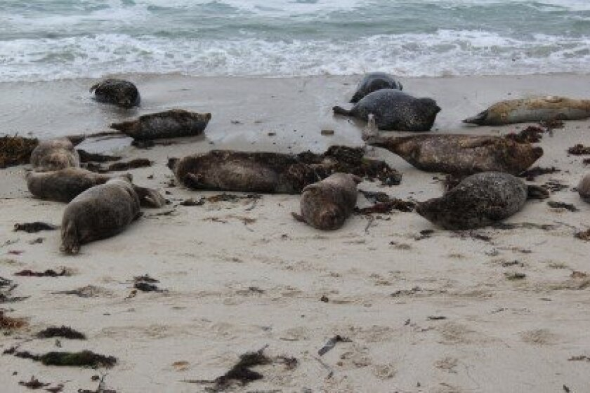 Harbor seals rest at the Children's Pool in La Jolla during a past pupping season.