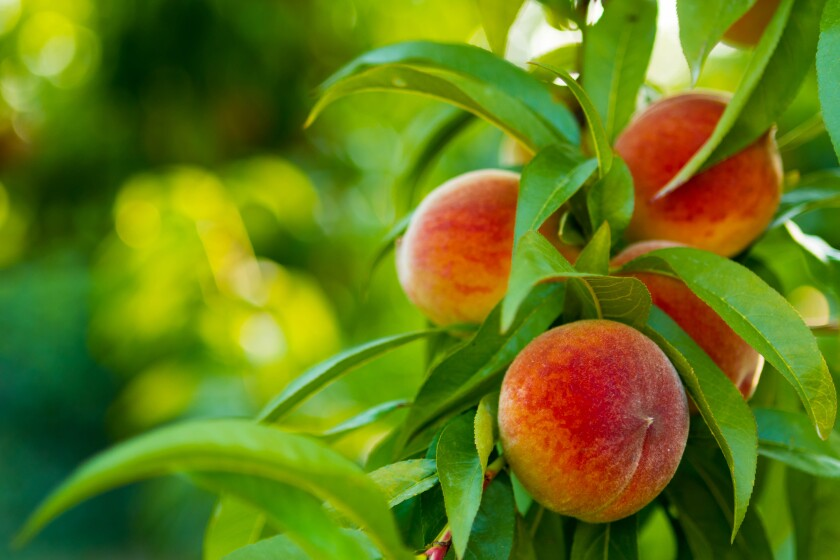 Now's the time to harvest peaches, plums and other stone fruit as it matures.