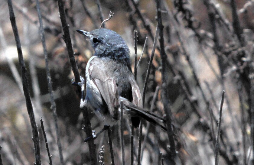 A California gnatcatcher rests in coastal sage scrub on the Palos Verdes Peninsula. Developers say new DNA evidence shows that the bird no longer deserves federal protections, potentially opening prime coastal real estate to development.