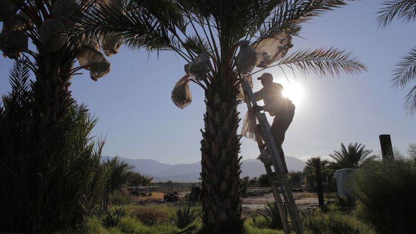A farmworker climbs a date tree in the Coachella Valley town of Thermal to tie bags around the fruit.