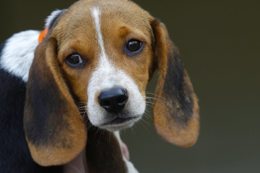 A beagle puppy looks toward a photographer. No, you don't know what he's thinking.