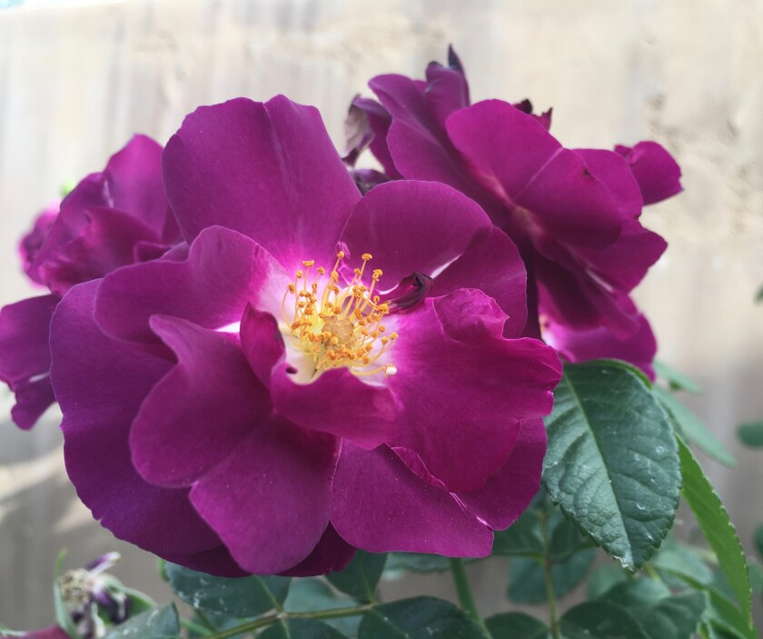 Rhapsody in Blue is a repeat flowering, disease resistant shrub rose that is fragrant. It blooms in clusters and has semi-double purple flowers with golden stamens. The bees love this rose.