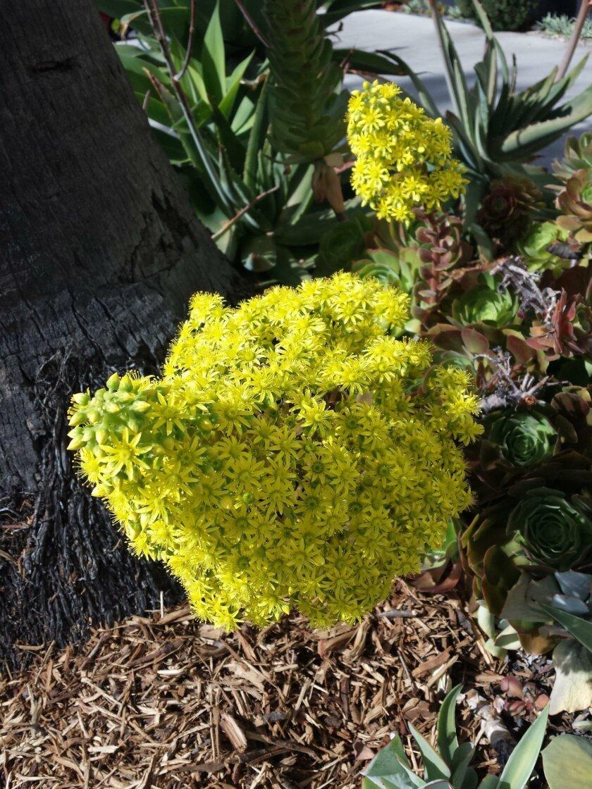 A beautiful aeonium in bloom