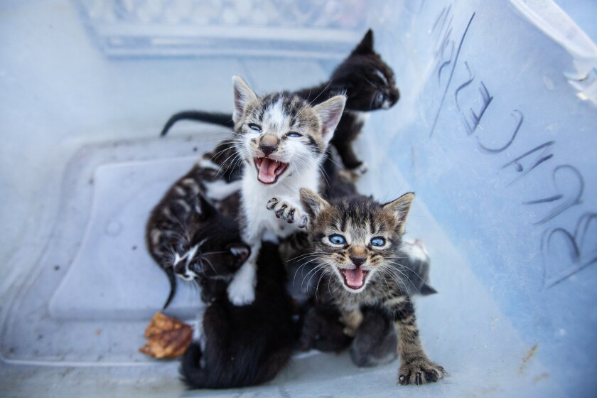 A litter of stray kittens dropped off at a Los Angeles animal shelter