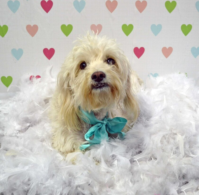 Sophie, a Maltipoo who rescued a puppy from a coyote attack, was adopted Feb. 12. HELEN WOODWARD ANIMAL CENTER